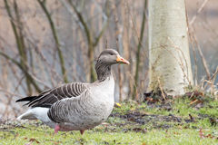 Greylag goose. Greylag goose walking on grass field Stock Image