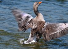 Greylag goose washing and drying in a fresh water lake. Greylag goose washing and drying in a fresh water lake to remove dirt, dust and mites from feathers royalty free stock photo