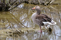 Greylag goose in water Stock Image