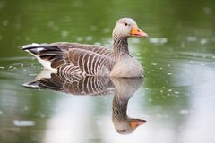 Greylag Goose and water reflections Royalty Free Stock Photos