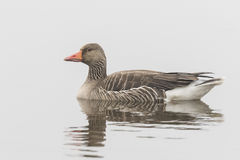 Greylag goose on white Royalty Free Stock Images