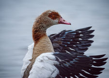 Greylag Goose With Wings Extended forwards Royalty Free Stock Photo