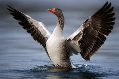 Greylag Goose with Wings Spread Stock Photo