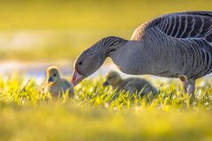 Free Greylag Goose With Chicks Royalty Free Stock Photo - 213351545