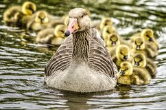 Free Greylag Goose With Offspring Stock Photo - 115894950