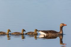 Greylag goose with young birds Stock Image