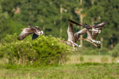 Greylag Gooses Royalty Free Stock Images