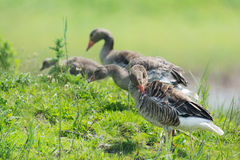 Greylag gooses Royalty Free Stock Image