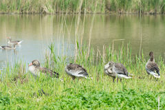Greylag gooses in nature Royalty Free Stock Photography