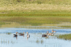 Greylag gooses at Terschelling Royalty Free Stock Photo