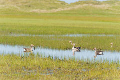 Greylag gooses at Terschelling Stock Images
