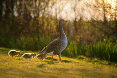 Greylag Gopse with Four Goslings Royalty Free Stock Image