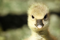 A Greylag Gosling Stock Photography