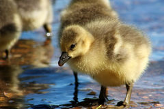 A Greylag Gosling Stock Photos