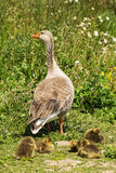 Greylag goslings with adult goose Stock Images