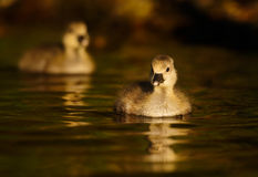 Greylag Goslings on Water Royalty Free Stock Images