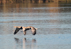 Greylag or graylag geese skimming the water. stock images