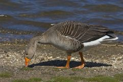 Greylag11 Fotos de Stock Royalty Free