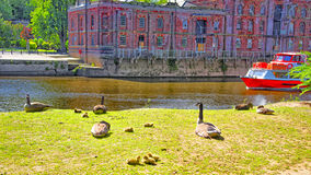 Greylags on shore of Ouse River in York in England Royalty Free Stock Image