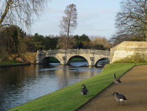 Greylags walk by the riverside Stock Image