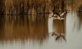 Greyleg gäss som flyger över sjön arkivfoto