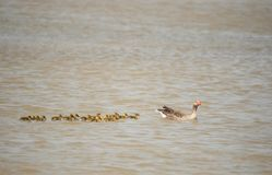 Greyleg goose mother with many cubs swimming on the lake stock photo