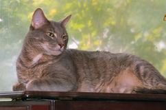 Greypaws portrait by window Royalty Free Stock Photos