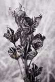 Greyscale flowers Stock Images