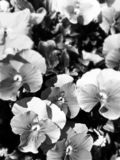 Greyscale Pansies stock photos