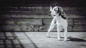 Greyscale Photgraphy of Beagle Stock Image
