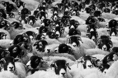 Greyscale Photo of Sheep Royalty Free Stock Photography