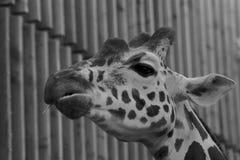 Greyscale Photograph of Giraffe Royalty Free Stock Photo
