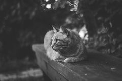 Greyscale Photography of a Cat Lying on Wooden Bench Royalty Free Stock Photos