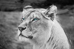 Greyscale Photography of Lioness Stock Images
