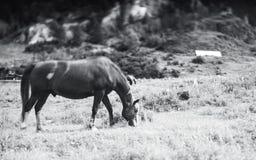 Greyscale tiltshift wizerunek koń w Altay gór położeniach Obrazy Royalty Free