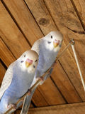 Greywing budgie twins Stock Photography