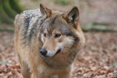 greywolf 库存图片