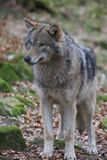 Greywolf Stock Fotografie