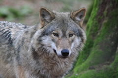 Greywolf Immagine Stock