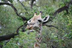 Griaffe Stock Photography