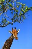 Griaffe (camelopardalis del Giraffa) Immagine Stock