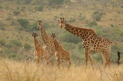 Griaffe Family stock images