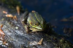 Grib skov in Denmark a nice summer day. Where a green frog coming out of the lake stock photo