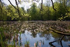 Grib skov in Denmark a nice summer day. Where the trees are reflected in the lake stock photography