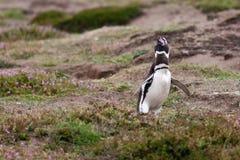 Grida del pinguino di Magellanicus Immagine Stock Libera da Diritti