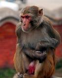 Grida della scimmia Fotografia Stock