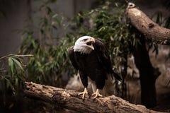 Grida di Eagle Immagini Stock Libere da Diritti