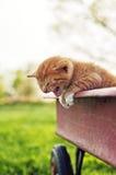Gridare del gattino Fotografie Stock