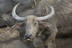 Gridare della Buffalo Fotografia Stock Libera da Diritti