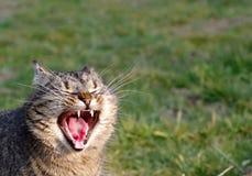 Gridare gatto Fotografia Stock Libera da Diritti